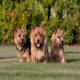 سگ نژاد نرویچ تریر (Norwich Terrier)