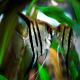 ماهی آنجل راه راه نقره ای (Silver Zebra Angel)