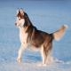 سگ سیبرین هاسکی (Siberian Husky)