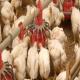 تولید تخم مرغ و گوشت مرغ باکیفیت، بدون مصرف آنتی بیوتیک
