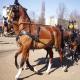 اسب نژاد گلدرلند (Gelderland horse)