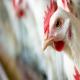 تأثیر استرس یا تنش گرمایی روی تولید مرغداریها (بخش نخست)