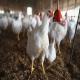 بیماری پلوروم و تیفوئید مرغان