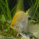 ماهی آنجل طلائی (Gold Veil Angel)