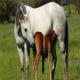 خوراک اسب مخصوص مادیانهای آبستن