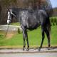 اسب نژاد داچ وارم بلاد (Dutch Warmblood)