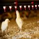 مدیریت آب در مرغداریها
