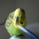 پرریزی در پرندگان خانگی