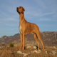 سگ نژاد ردیژن ریجبک (Rhodesian Ridgeback)