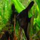 ماهی آنجل سیاه (Black Angel)