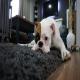کدام نژادهای سگ برای زندگی آپارتمانی مناسبند؟