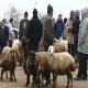 آیا خرید گوسفند زنده بهصرفه است؟