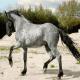 اسب نژاد مورگس (Murgese horse)