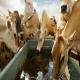 هوش و روابط اجتماعی در گاوها
