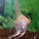 ماهی آنجل زال (Albino Angel)