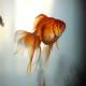 توصیههای بهداشتی در نگهداری از ماهی قرمز