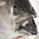 ماهیهای رودخانه تایمز به کوکائین اعتیاد پیدا کردند