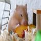 میوههای مناسب برای همستر