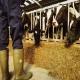 نکات ضروری در پرواربندی گوسفند و گاو