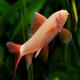 ماهی شارک آلبینو (albino shark)