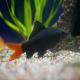 ماهی شارک دم قرمز