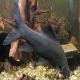 ماهی شارک سیاه