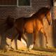 اسب نژاد فردریکس بورگ (frederiksborg horse)