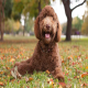 سگ نژاد لابرادودل (Labradoodle)