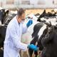 بیماریهای شایع در گاو شیری