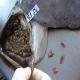 فاسیولوزیس (Fasciolosis) یا کپلک در دام