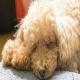 هیپوگلیسمی یا قند خون پایین در توله سگها