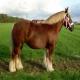 اسب نژاد ژوتلند (Jutland horse)