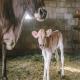 مضر بودن گاز آمونیاک برای گوسالهها