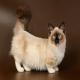 گربه نژاد مانچکین (Munchkin cat)