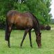 تجمع مواد در دستگاه گوارش اسب (ایمپکشن)