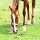 کرمهای انگلی در اسب