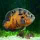 ماهی اسکار تایگر (Tiger Oscar)