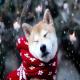 سگ ها تا چه حد سرما را تحمل می کنند؟