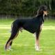 سگ نژاد سالوکی (Saluki)