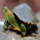لاکپشت گوش قرمز