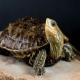 لاکپشت برکهای خزری (Caspian Pond Turtle)