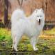سگ نژاد ساموید (Samoyed)