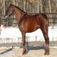 اسب نژاد فوریوزو (furioso horse)