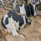 پیشگیری و درمان بیماری کتوزیس در گاوها