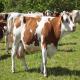 گاو نژاد گوشتی-شیری سمینتال-فلکویه (Fleckvieh-Simmental)