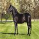 اسب نژاد نانیوس (nonius horse)