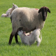 همزمان سازی در گوسفند و بز