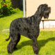 سگ نژاد اشنوزر غولپیکر (Schnauzer-Giant)