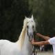 اسب نژاد هانگرین هافبرد (hungarian halfbred horse)
