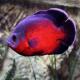 ماهی اسکار قرمز (Red Oscar)